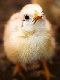 Chicklet