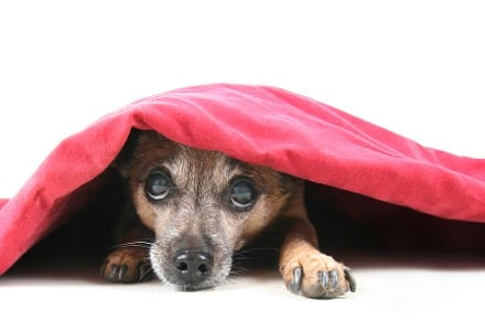 wordpress-hide-page-title-featued-image-dog-under-blanket-small