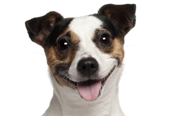 smiling dog white background - photo #12