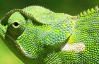 A photo of a chameleon