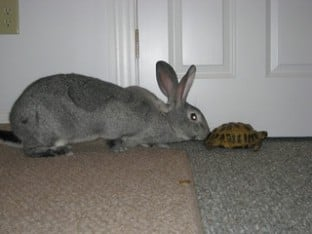 Tortoise gets nudged by a hare