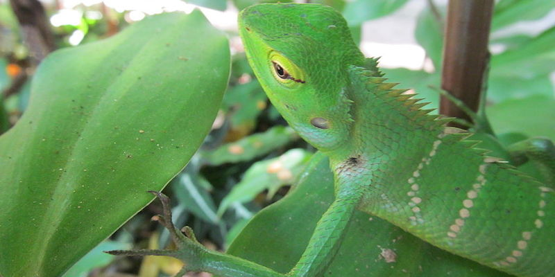 Chameleon-in-green-color-adaptation
