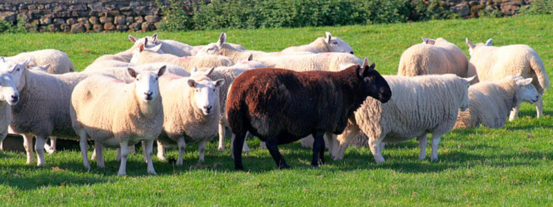 featured-black-sheep